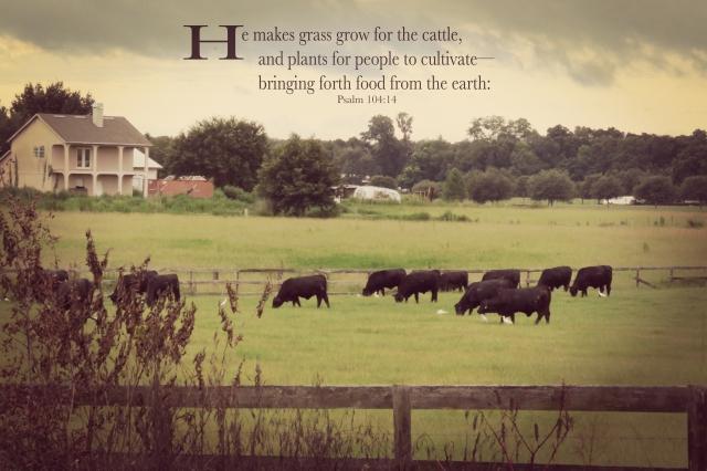 cattle dusk