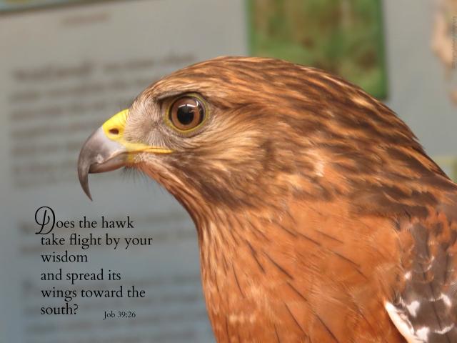 hawk take